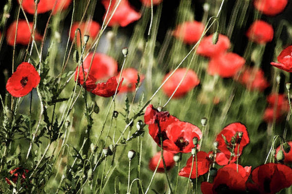 Photograph - Poppies In The Wind by Cliff Norton