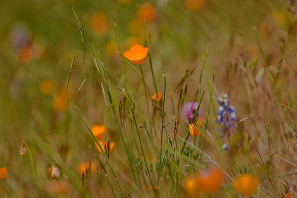 Wall Art - Photograph - Poppies In Yosemite by Jim Dohms