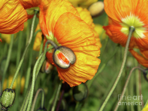 Photograph - Goldengatefloral02 by Mary Kobet