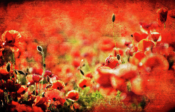 Photograph - Poppies by Meirion Matthias
