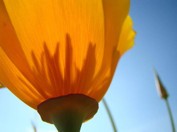 Wall Art - Photograph - Poppies Sunlit Poppy Flower 1 Wildflower Art Prints by Baslee Troutman