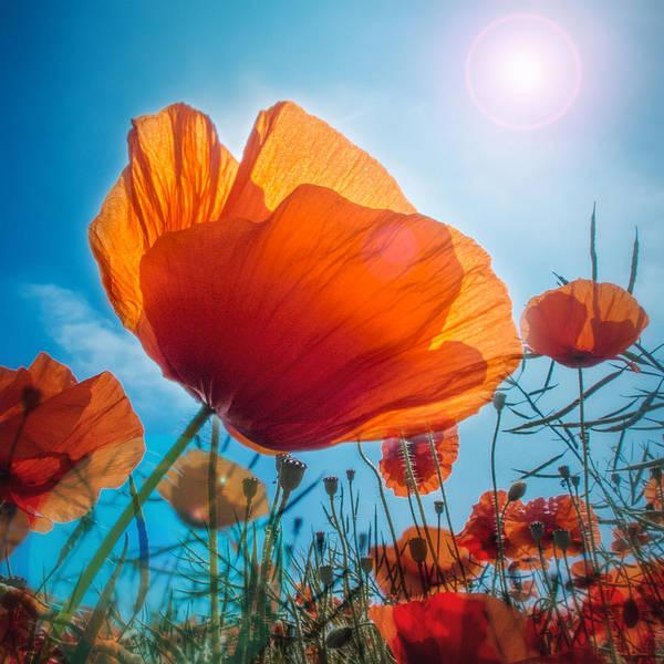 Wild Poppies Digital Art - Poppies by Sylvia Slavin