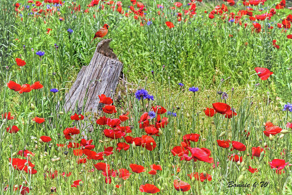Digital Art - Poppies With A Cardinal by Bonnie Willis