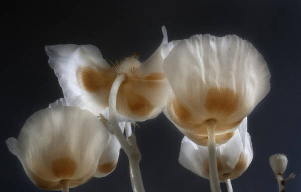 Photograph - Poppies With A Twist by Tracy Munson