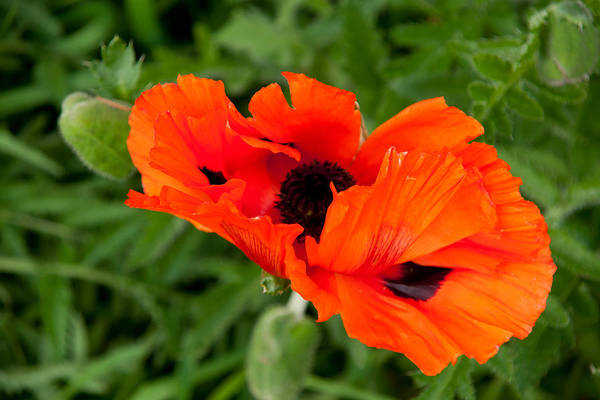 Wall Art - Photograph - Poppy-2 by Alexander Rozinov