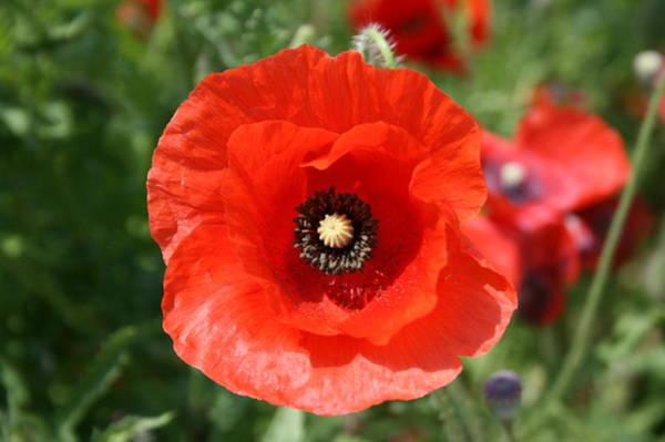Photograph - Poppy 2 by David Dunham