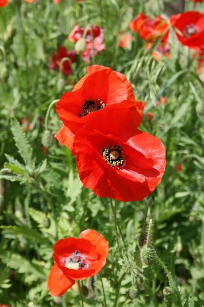 Photograph - Poppy 4 by David Dunham
