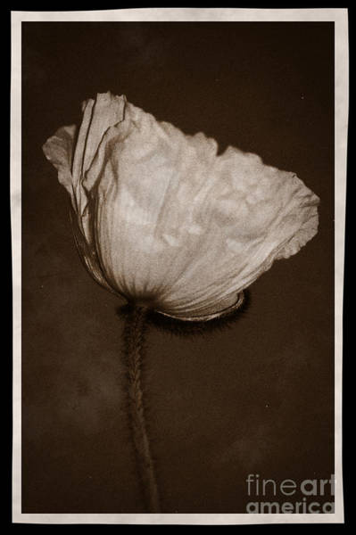 Photograph - Poppy 4 by Donna Bentley