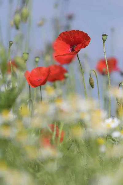 Photograph - Poppy Above Daisies by Peter Walkden