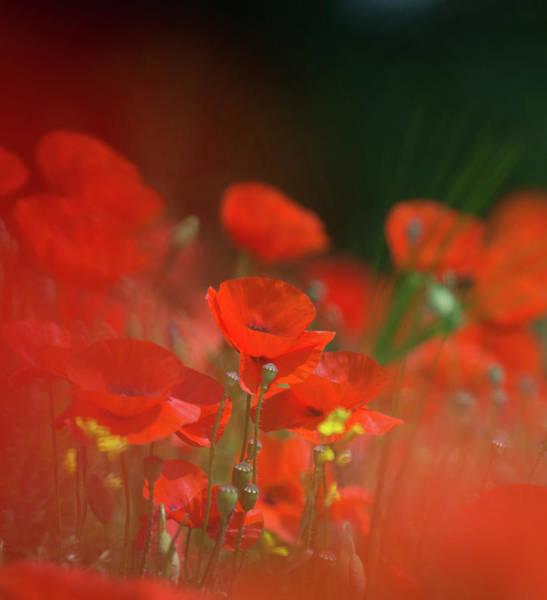 Photograph - Poppy Amongst Grasses by Peter Walkden