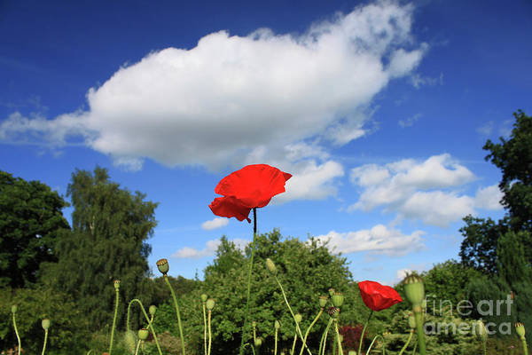 Poppy And Cloud Art Print