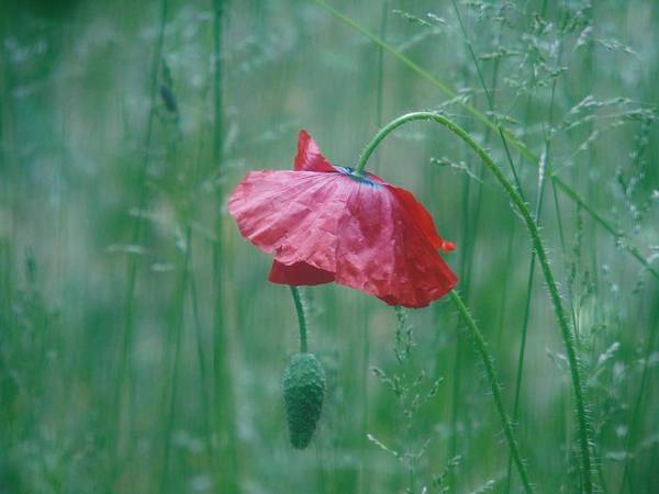 Photograph - Poppy And Friend In The Grass by Barbara St Jean