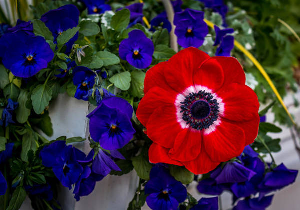 Photograph - Poppy And Pansies by Susie Weaver