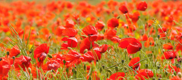 Photograph - Poppy Field by Colin Rayner