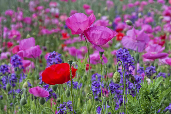Photograph - Poppy Field by Ken Barrett