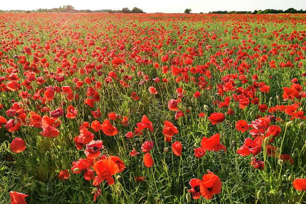 Photograph - Poppy Field by Kim Lessel