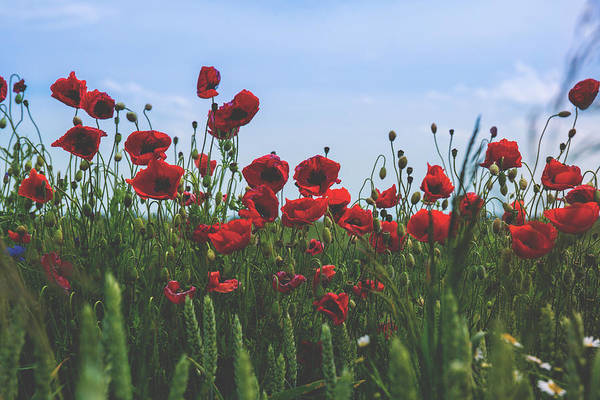 Wall Art - Photograph - Poppy Field by Happy Home Artistry