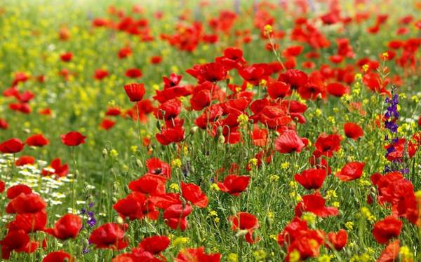 Photograph - Poppy Field by Thomas M Pikolin