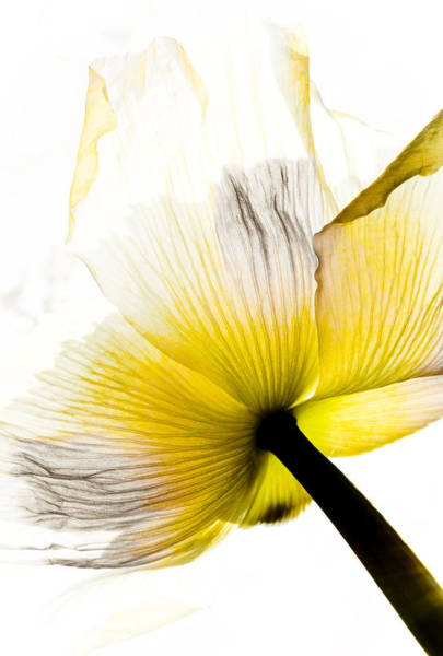 Wall Art - Mixed Media - Poppy Flower Art by Frank Tschakert