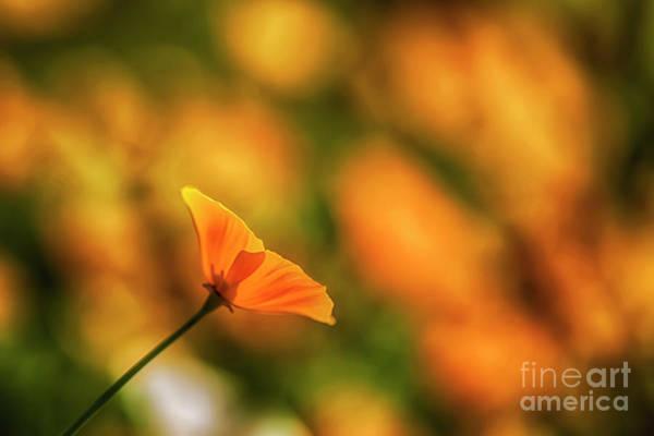California Poppy Photograph - Poppy Glow by Veikko Suikkanen