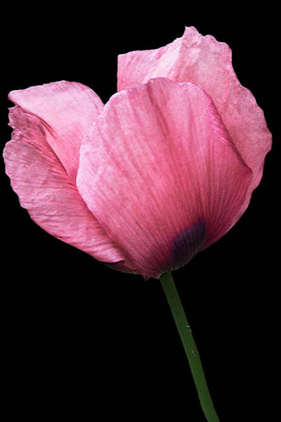 Photograph - Poppy by Mike Stephens