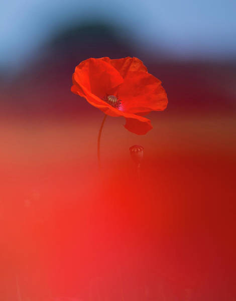 Photograph - Poppy by Peter Walkden