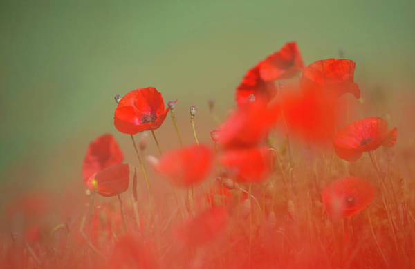Photograph - Poppy Red Mush by Peter Walkden