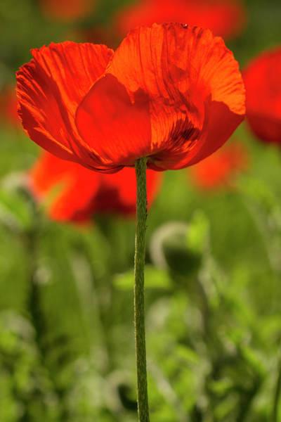 Photograph - Poppy Stem by Teri Virbickis