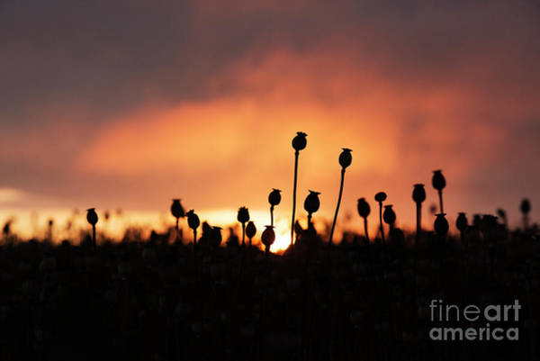 English Countryside Photograph - Poppy Sunrise by Tim Gainey