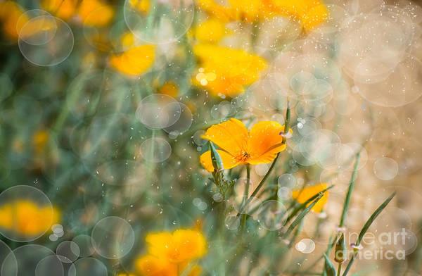 Photograph - Poppy by Susan Warren