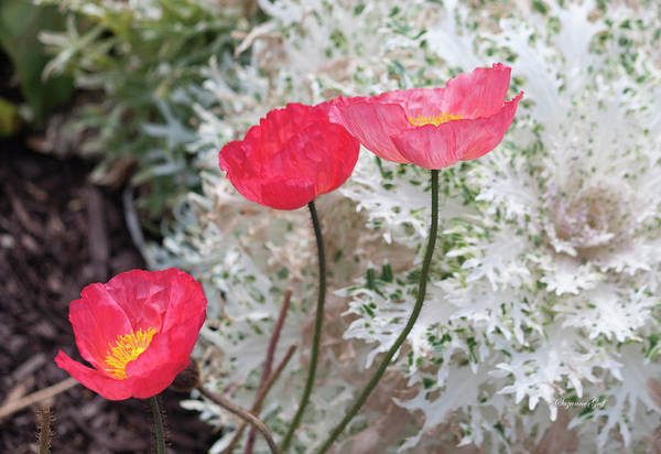 Wall Art - Photograph - Poppy Trio by Suzanne Gaff