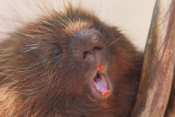 Photograph - Porcupine  by Brian Cross