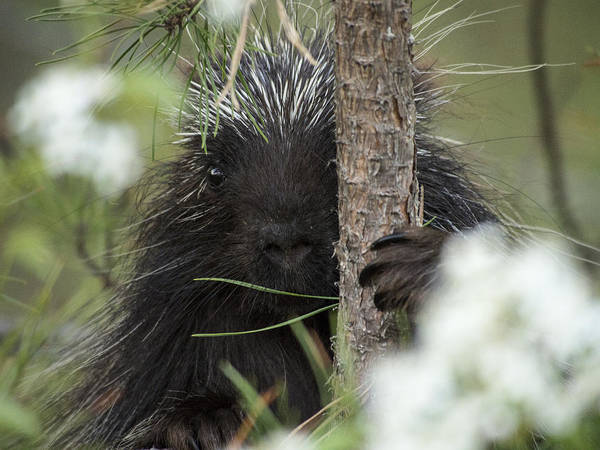 Porcupine Check-out Art Print