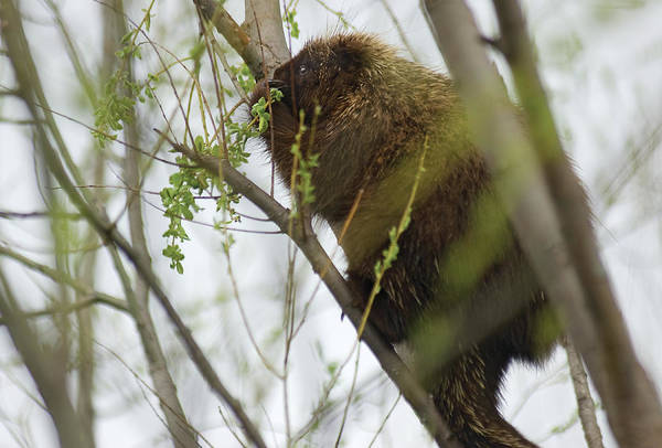 Photograph - Porcupine Eating Leaves by Steve Somerville
