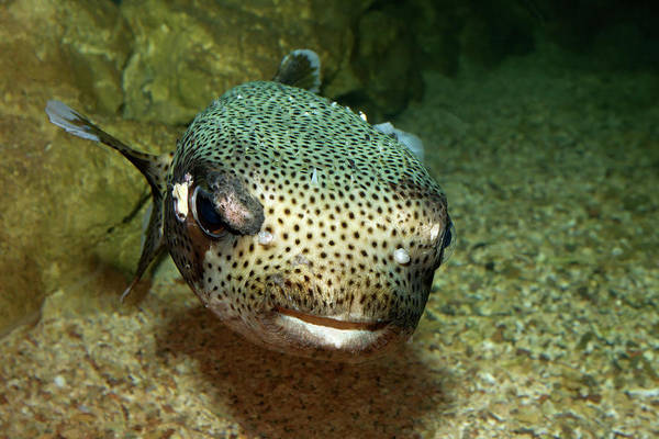Balloonfish Photograph - Porcupine Fish by Aivar Mikko