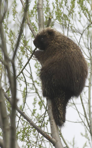 Photograph - Porcupine In A Tree by Steve Somerville