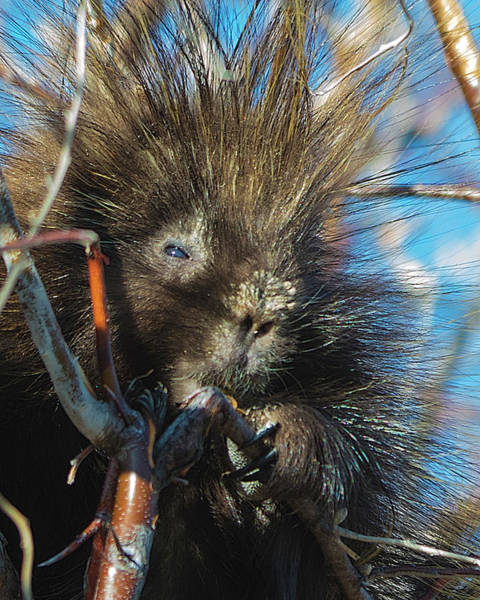 Photograph - Porcupine by Norman Hall