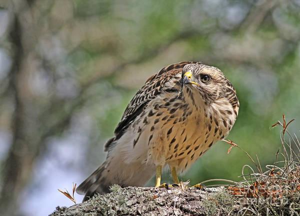 Photograph - Port Orange Hawk by Deborah Benoit