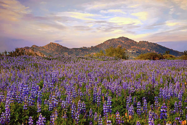 Photograph - Porter Ranch Wildflowers Under A Pastel Sky by Lynn Bauer