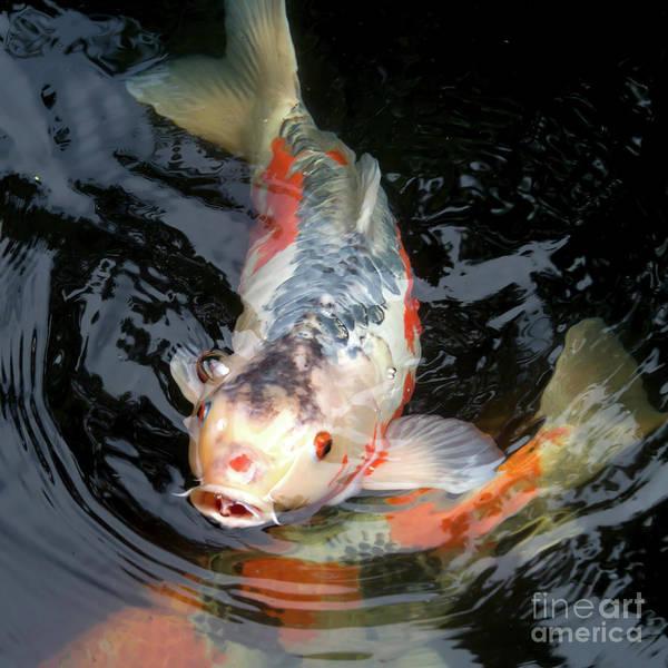 Photograph - Portland Japanese Garden Koi Pond Portland Oregon 7d155 by Wingsdomain Art and Photography