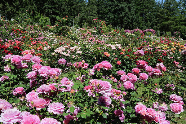 Photograph - Portland Rose Garden by Carol Groenen