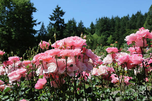Photograph - Portland's Pink Roses by Carol Groenen