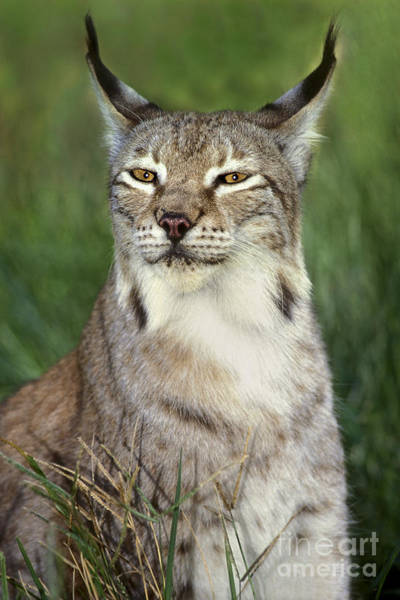 Photograph - Portrait Canadian Lynx Felis Lynx Wildlife Rescue by Dave Welling