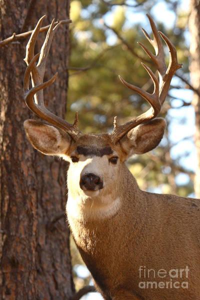 Mule Deer Photograph - Portrait Of A 15-point Buck by Max Allen