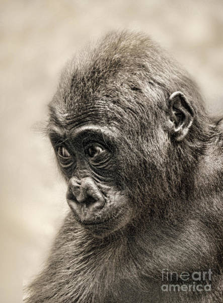 Wall Art - Photograph - Portrait Of A Baby Gorilla Digitally Altered by Jim Fitzpatrick