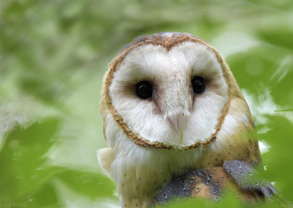 Photograph - Portrait Of A Barn Owl by Judi Dressler