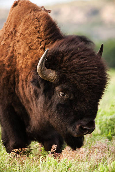 Prarie Photograph - Portrait Of A Bison by Iris Greenwell