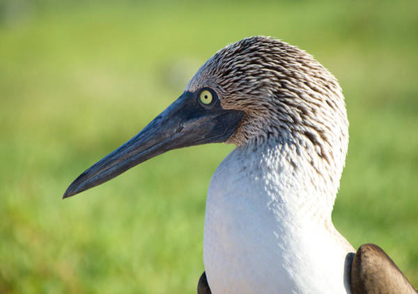 North Seymour Island Photograph - Portrait Of A Blue-footed Booby by Jane Selverstone
