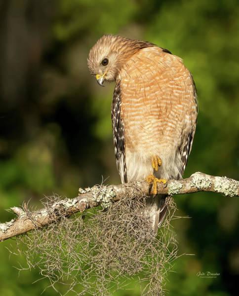 Photograph -  Portrait Of A Red-shouldered Hawk by Judi Dressler