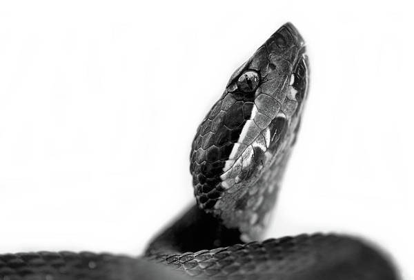 Photograph - Portrait Of A Cottonmouth by JC Findley
